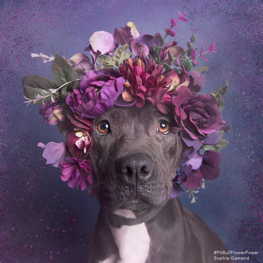 Pit Bull Princes and Princesses