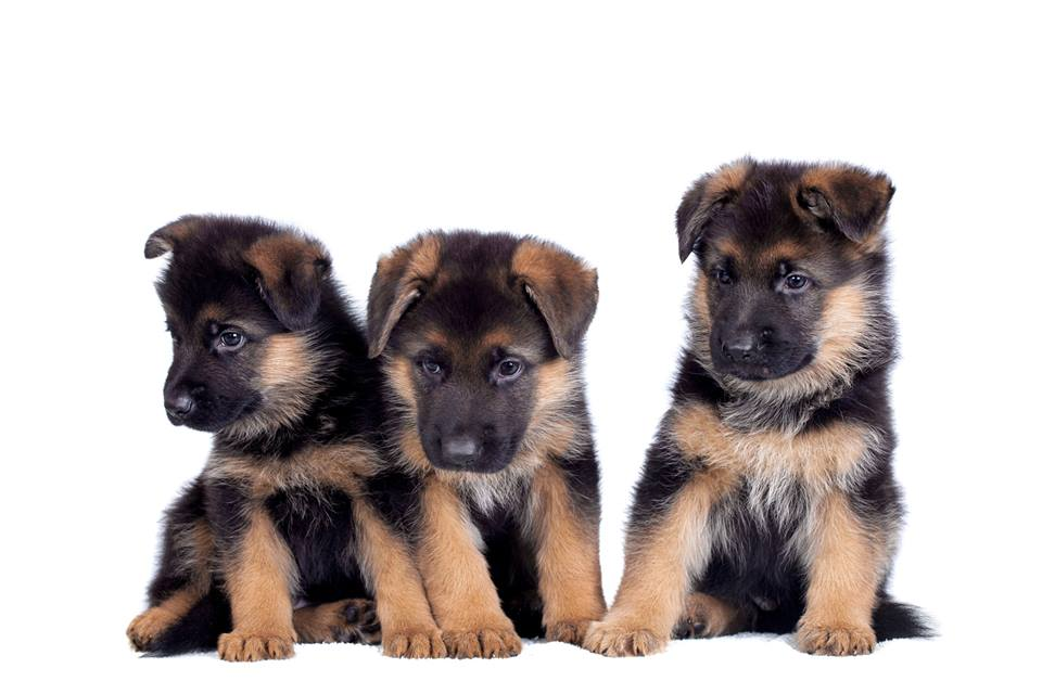 The American Kennel Club Website