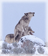 Dorothy's Nonfiction Minute about Yellowstone Wolves